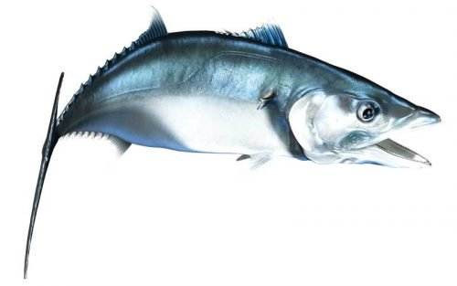 King Mackerel Fish Graphics
