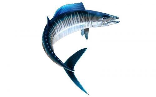 Wahoo Fish Graphics