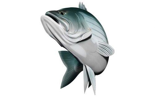 striped bass graphics
